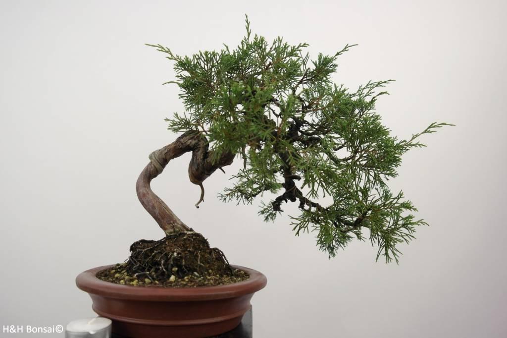 Bonsai Chinese Juniper, Juniperus chinensis itoigawa, no. 5185