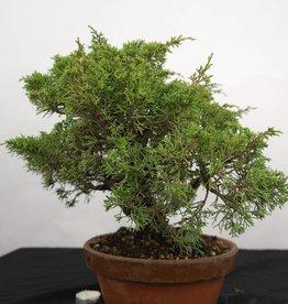 Bonsai Chinese Juniper, Juniperus chinensis itoigawa, no. 5276