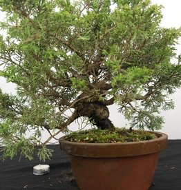 Bonsai Juniperus chinensis itoigawa, no. 5277
