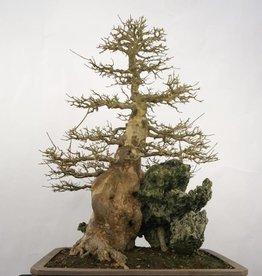 Bonsai Acer buergerianum, no. 5286