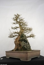 Bonsai Acer buergerianum, no. 5286
