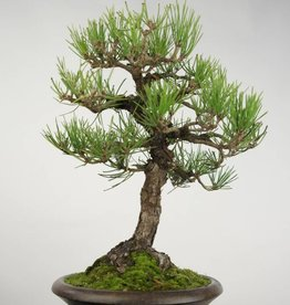 Bonsai Pinus thunbergii, no. 5224