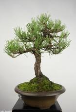 Bonsai Japanese Black Pine, Pinus thunbergii, no. 5224