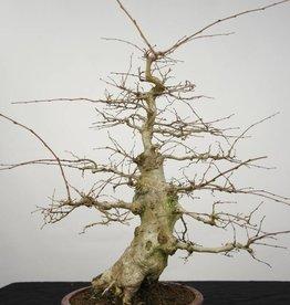 Bonsai Carpinus coreana, no. 5227