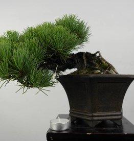Bonsai Shohin Pinus parviflora, no. 5398