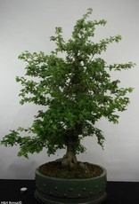 Bonsai Hawthorn, Crataegus cuneata, double red, no. 4589
