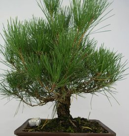 Bonsai Pinus thunbergii, no. 5727