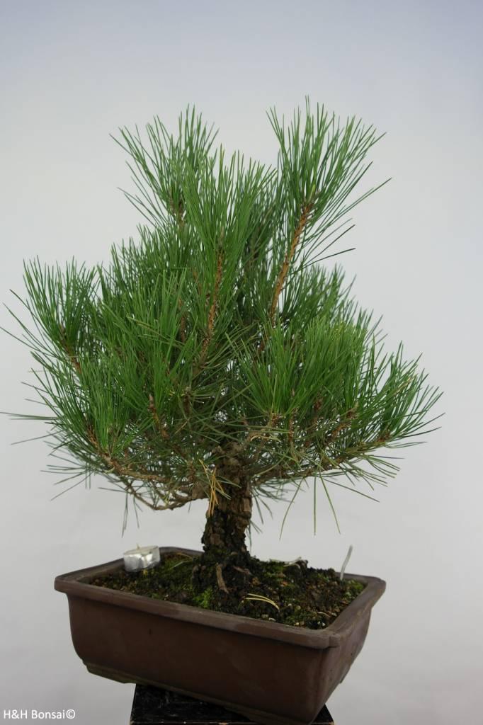 Bonsai Japanese Black Pine, Pinus thunbergii, no. 5727
