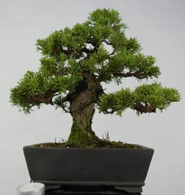 Bonsai Juniperus chinensis, no. 5736