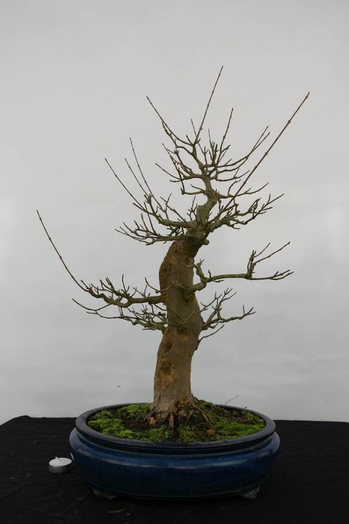 Bonsai Acer palmatum, no. 5545