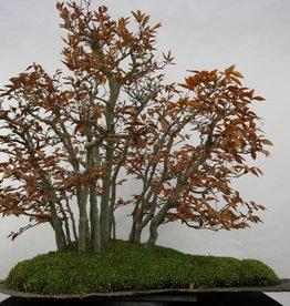 Bonsai Fagus crenata, no. 5785