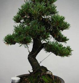 Bonsai Pinus thunbergii kotobuki, no. 5496