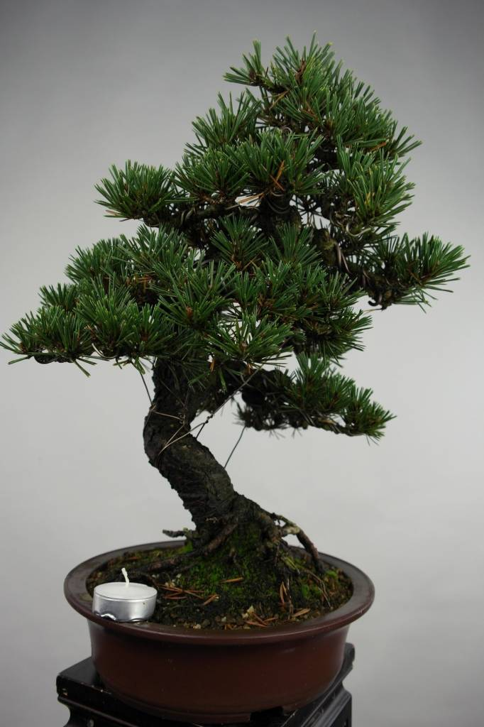 Bonsai Pinus thunbergii kotobuki, no. 5496