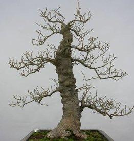 Bonsai Ilex serrata, no. 5133