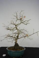 Bonsai Diospyros kaki, Lotus kaki, no. 5575