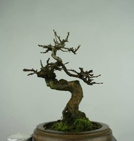 Bonsai Shohin Hornbeam, Carpinus, no. 5433