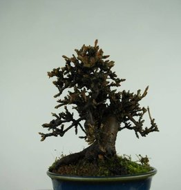 Bonsai Shohin Viburnum, no. 3270