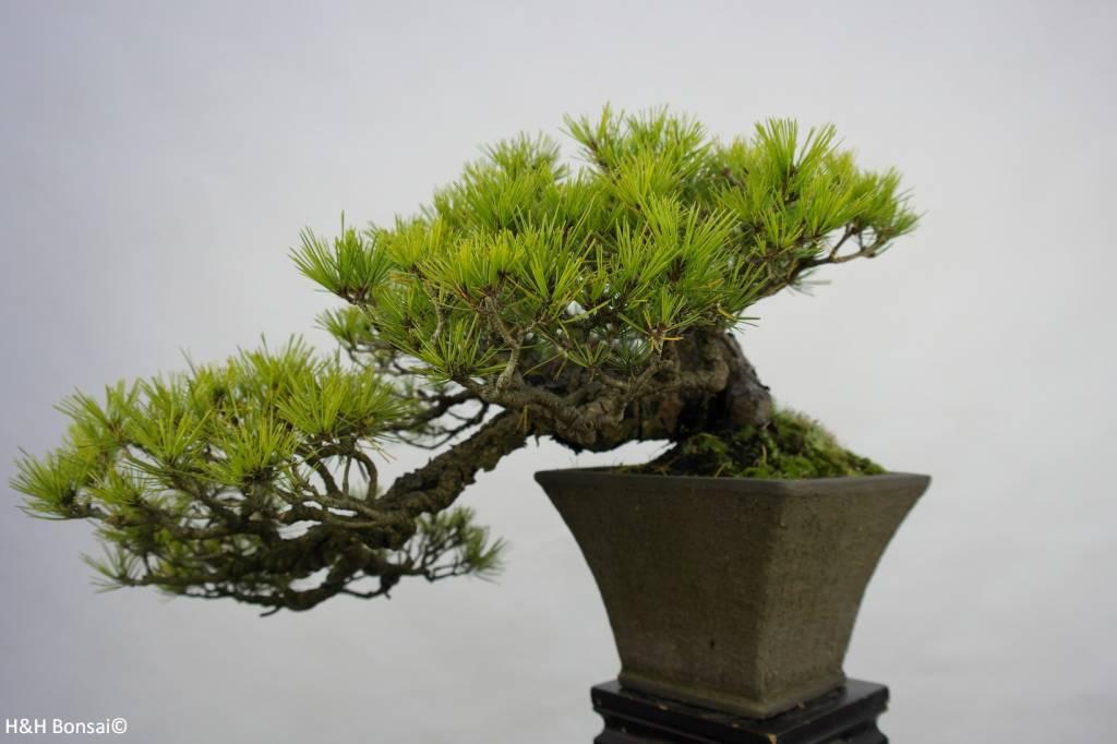 Scots pine  Wikipedia