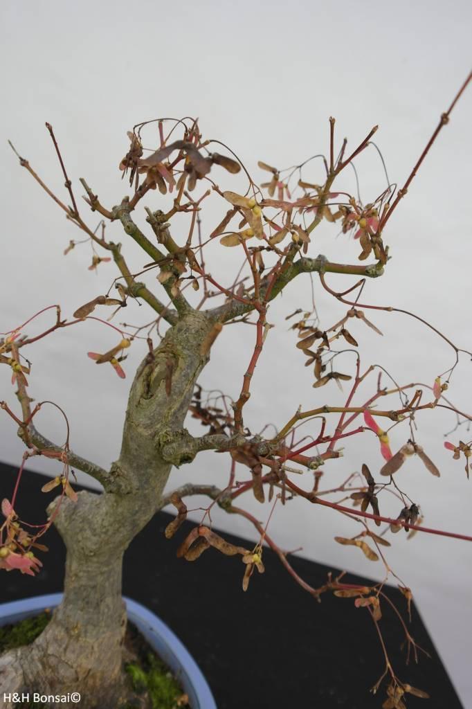 Bonsai Acer palmatum, no. 5851