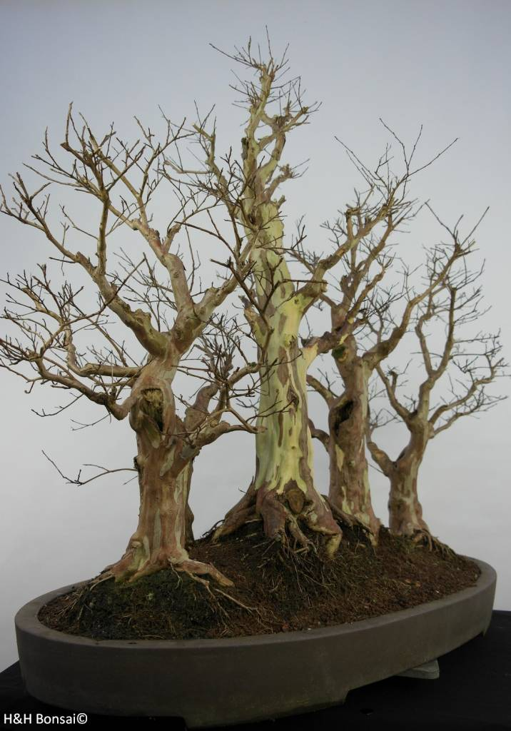 Bonsai Crape Myrtle, Lagerstroemia, no. 5864