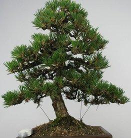 Bonsai Pinus thunbergii kotobuki, no. 5905
