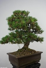 Bonsai Pinus thunbergii kotobuki, no. 5905