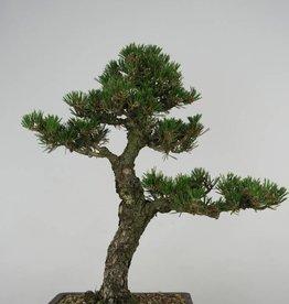 Bonsai Pinus thunbergii kotobuki, no. 5907