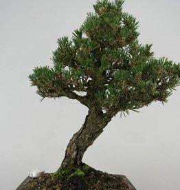 Bonsai Pinus thunbergii kotobuki, no. 5908