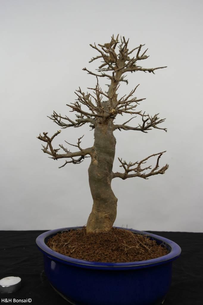 Bonsai Acer buergerianum, no. 5926