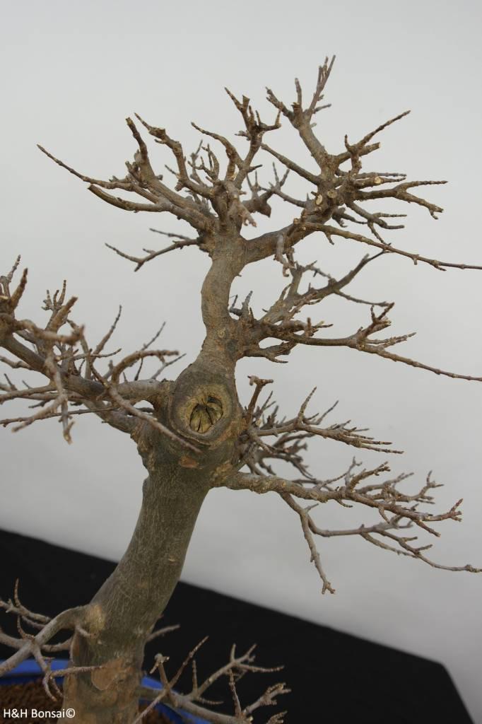 Bonsai Acer buergerianum, no. 5927