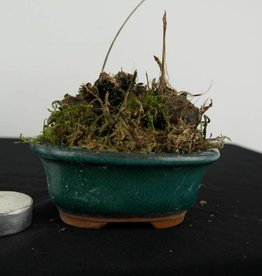 Orquídea, Pleione formosana, no. 6103
