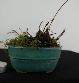 Orquídea, Pleione formosana, no. 6104