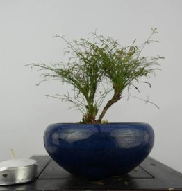 Bonsai Shohin Nandina sp., no. 6147