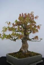 Bonsai Acer palmatum, no. 5805