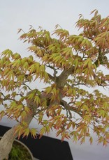 Bonsai Acer palmatum, no. 5806