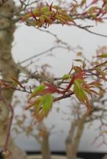 Bonsai Acer palmatum, no. 5853