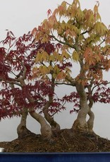 Bonsai Acer palmatum, no. 5850