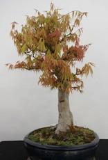 Bonsai Acer palmatum, no. 5232