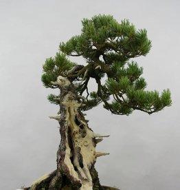 Bonsai Pinus penthaphylla, no. 5502
