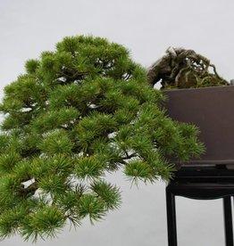 Bonsai Pinus parviflora, no. 5140