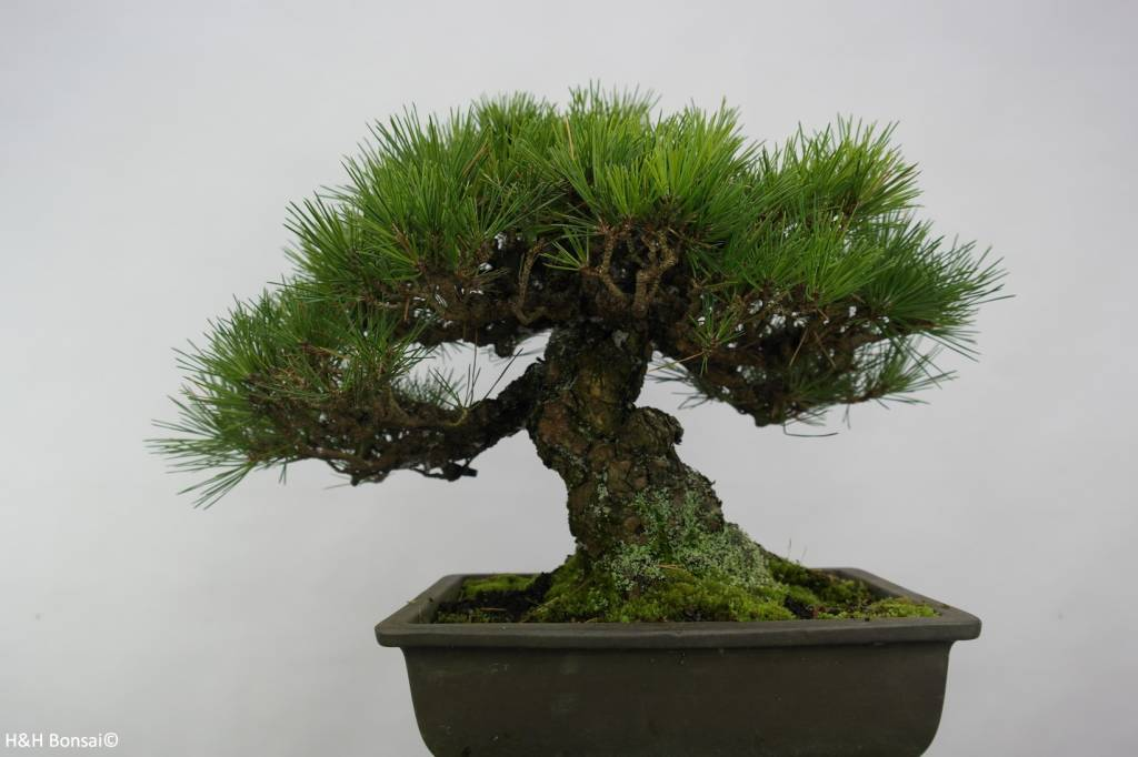 Bonsai Japanese Black Pine, Pinus thunbergii, no. 5505