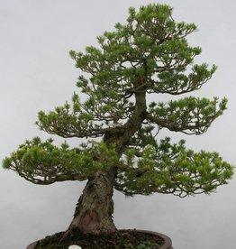 Bonsai Pinus parviflora zuisho, no. 5259