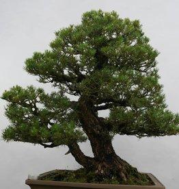 Bonsai Pinus parviflora kokonoe, no. 5297