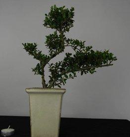 Bonsai Ilex crenata, no. 6256