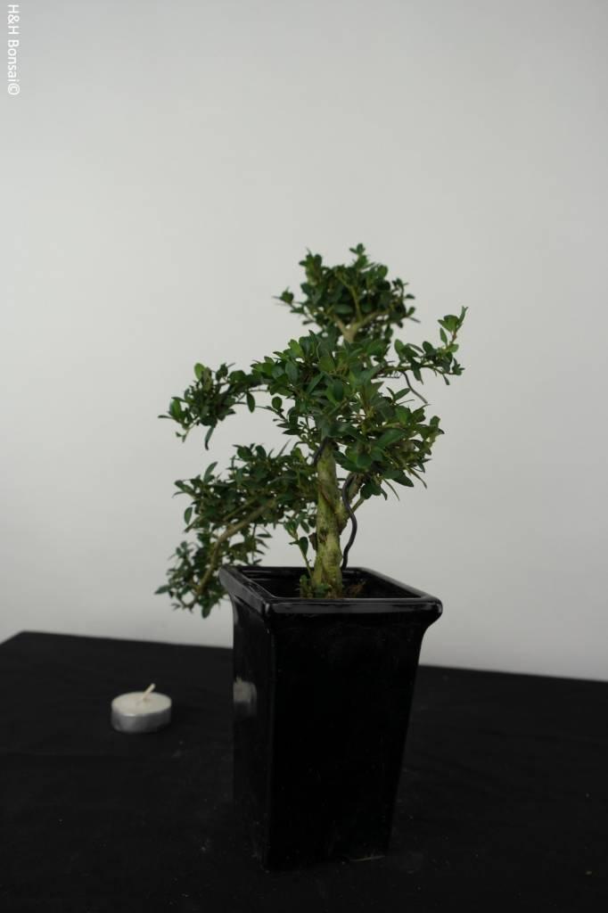 bonsai ilex crenata no 6382. Black Bedroom Furniture Sets. Home Design Ideas