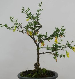 Bonsai Caragana sp., no. 6399