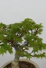 Bonsai Acer palmatum shishigashira, no. 6414