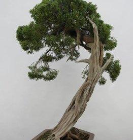 Bonsai Juniperus chinensis itoigawa, no. 5165