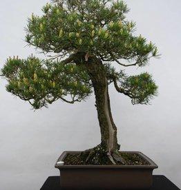 Bonsai Pinus thunbergii, no. 5167