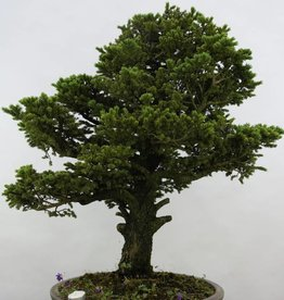 Bonsai Picea sp., no. 6438